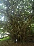 A REALLY large tree.