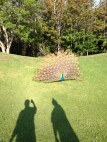 Peacock on the golf course.